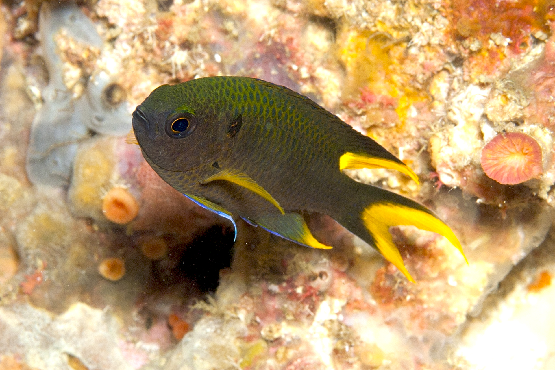 Be on the lookout indo pacific damsel reported in gulf for Gulf coast fish