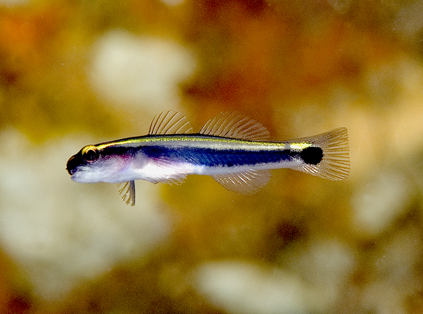 Bahamian Tale of Two Gobies Reef Environmental Education Foundation ...