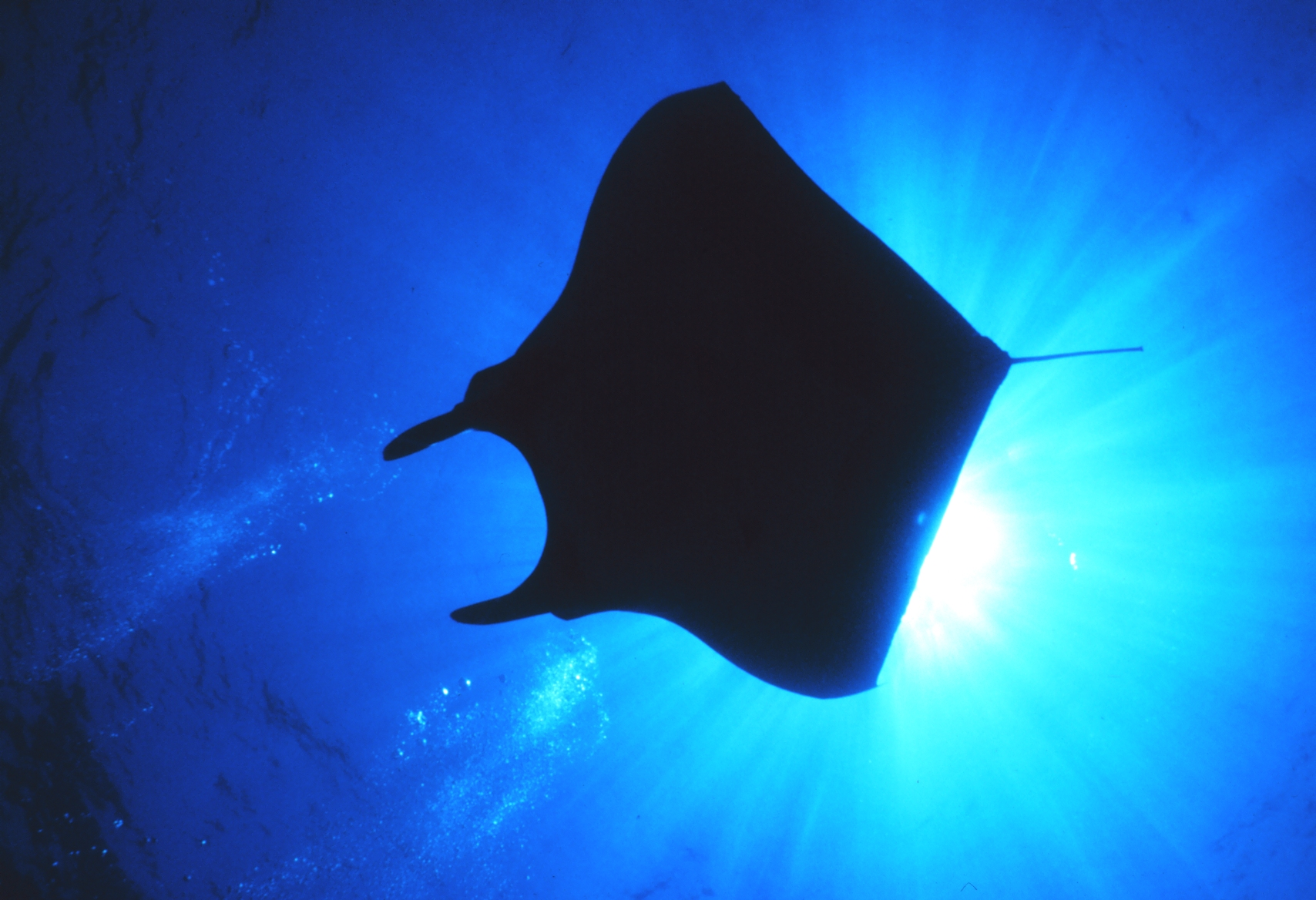 putting it to work new publication on manta and mobula rays published using reef data reef. Black Bedroom Furniture Sets. Home Design Ideas