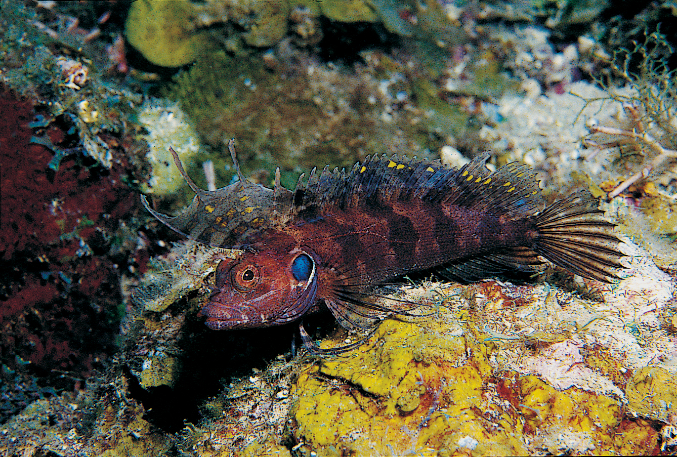 Blennies - Fish Forum - Nano-Reef.com Forums