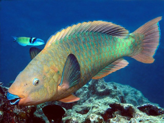 Making it count may 2016 reef environmental education for Rainbow parrot fish