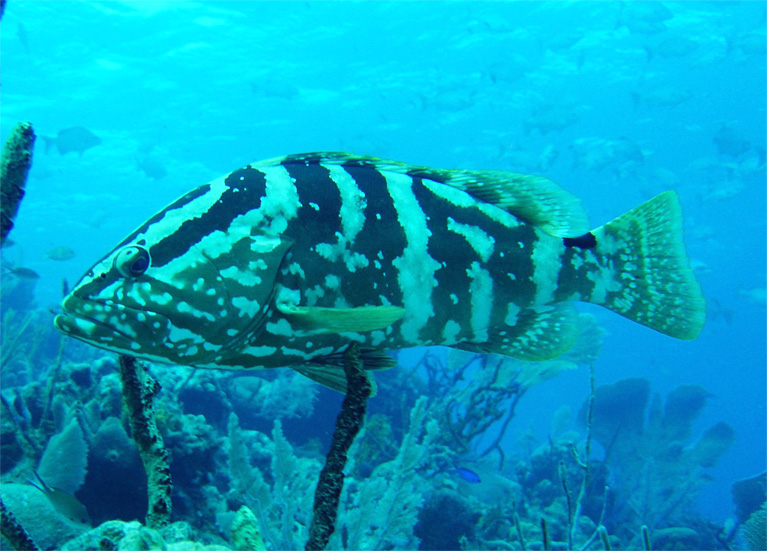 Reef data used to evaluate the status of big fish and for Caribbean reef fish