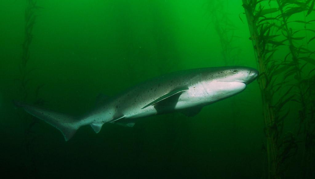 The majestic broadnose sevengill shark  Photo by Scott McGee    Broadnose Sevengill Shark