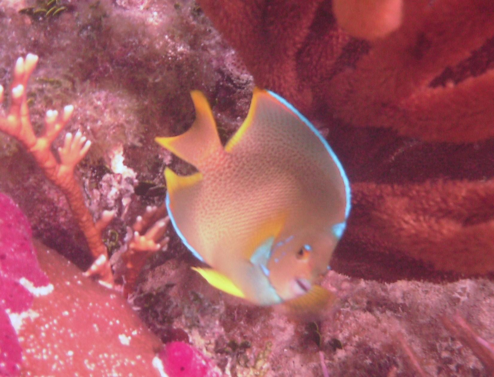 Blue Angelfish or Townsend Angelfish? | Reef Environmental Education ...