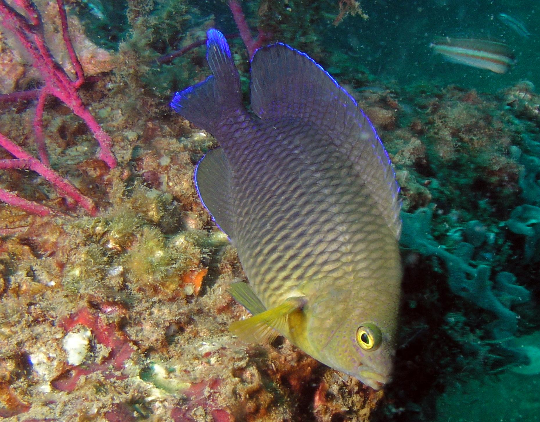 damselfish with flourescent blue margins reef