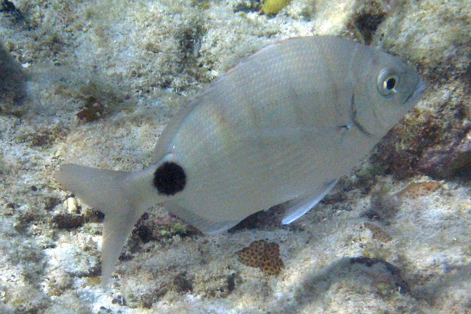 Not reported rare in caribbean fish sighting in for Caribbean reef fish