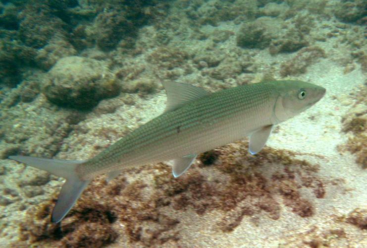 Hawaiian fish related keywords hawaiian fish long tail for Hawaiian reef fish identification