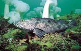 Lingcod: The lingcod is also a member of the greenling family.  During winter months, females lay large white egg masses that males then guard.  Many REEF volunteers monitor lingcod nests.  Sought after as a food fish, this ground fish has suffered serious decline
