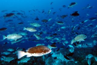 Over 4,000 Nassau grouper spawn at the aggregation site on Little Cayman.: Photo by Phil Bush.
