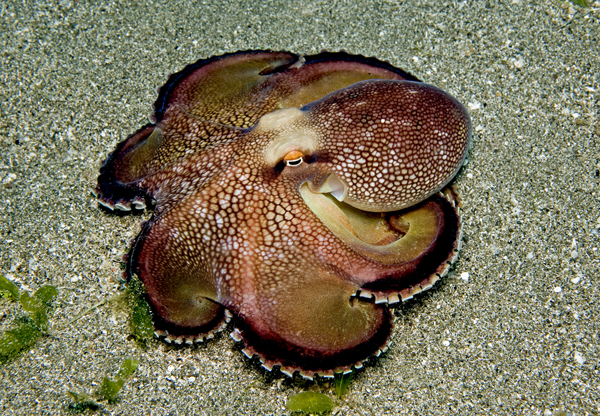 brownstripeoctopus