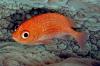 Cardinal Soldierfish