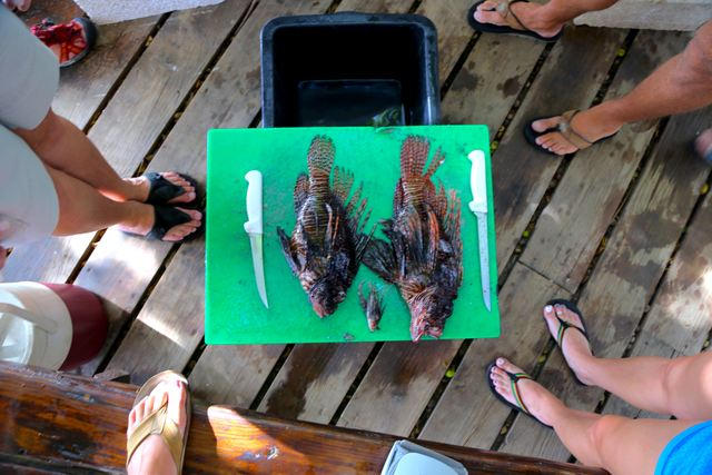 Largest lionfish: The group compares the largest and smallest lionfish of the day. All of these fish were found at the same dive site.