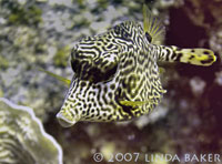 Scrawled Trunkfish: (Scrawled Cowfish/Smooth Trunkfish Hybrid). Photo by Linda Baker.