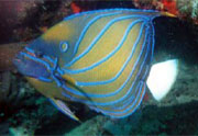 Bluering Angelfish: This bluering angelfish (Pomacanthus annularis) was documented on a reef  near Pompano Beach, Florida by Deborah Devers, Vone Research.