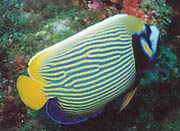 Emperor Angelfish: This emperor angelfish (Pomacanthus imperator) was documented in Florida by Jason McCullough.  Several additional sightings have been reported in the Pompano Beach area.
