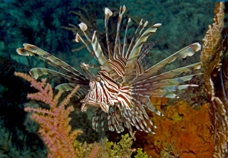 "Lionfish are rapidly spreading throughout the Caribbean.  Action in Belize and other areas ""downstream"" is needed now!"