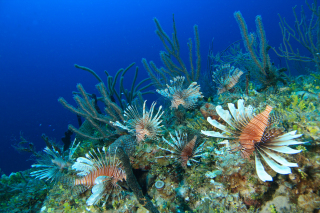 Indo-Pacific Lionfish cover a patch reef in the Bahamas.: Photo by Rich Carey.