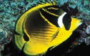 Racoon Butterflyfish: A racoon butterflyfish (Chaetodon lunula) has been sighted a few times on a reef in Boca Raton by a REEF surveyor. (this photo is not from Florida but is shown for identification)