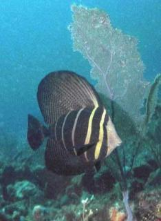 Sailfin tang, native to the Indo-Pacific, have been sighted at several locations along southeast Florida, a result most likely of releases from home aquarists.  Photo by Ed Tichner.