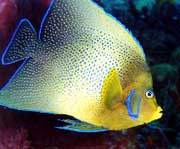 Semicircle Angelfish: The semicircle angelfish (Pomacanthus semicirculatus), also known as the Koran angelfish in the aquarium industry, was photographed by Linda Ianniello in Boca Raton, FL.