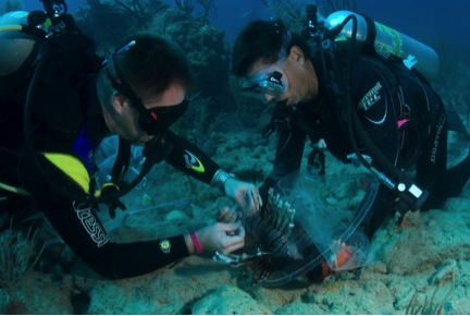 Two divers work together to tag a lionfish underwater