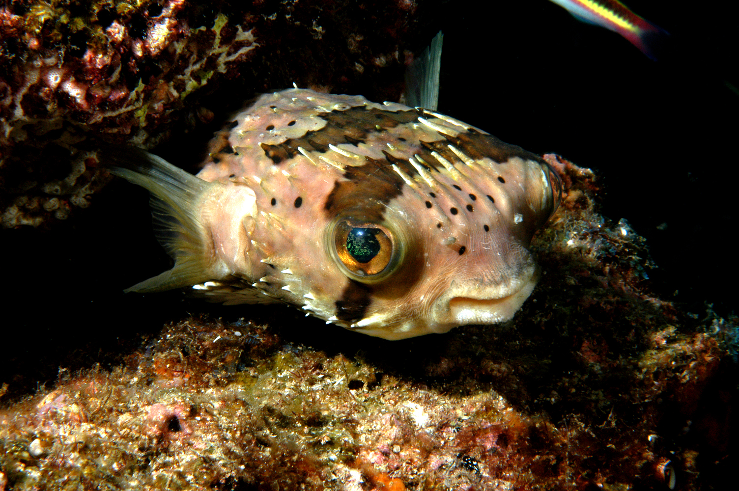 balloonfish reef environmental education foundation reef