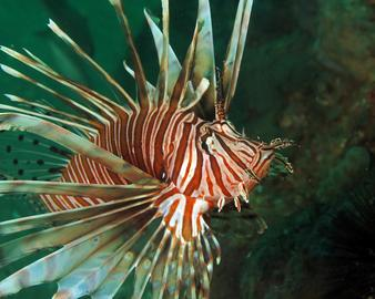 Lionfish - photo by Carol Cox
