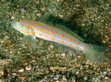 Orange Dashed Goby - photo by Florent Charpin