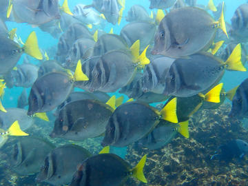 Razor Surgeonfish - photo by Dr. Christy Semmens