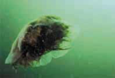 Sea Blubber
