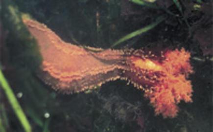 Orange Sea Cucumber