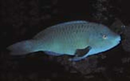 Azure Parrotfish