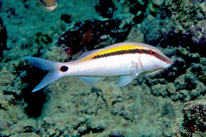 Dash-Dot Goatfish
