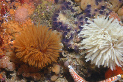 Feather Duster Worm (E. polymorpha)