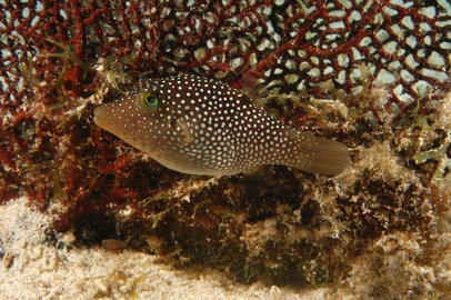 Spotted Sharpnose Puffer