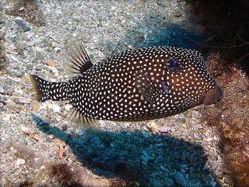 Spotted Boxfish (Female)