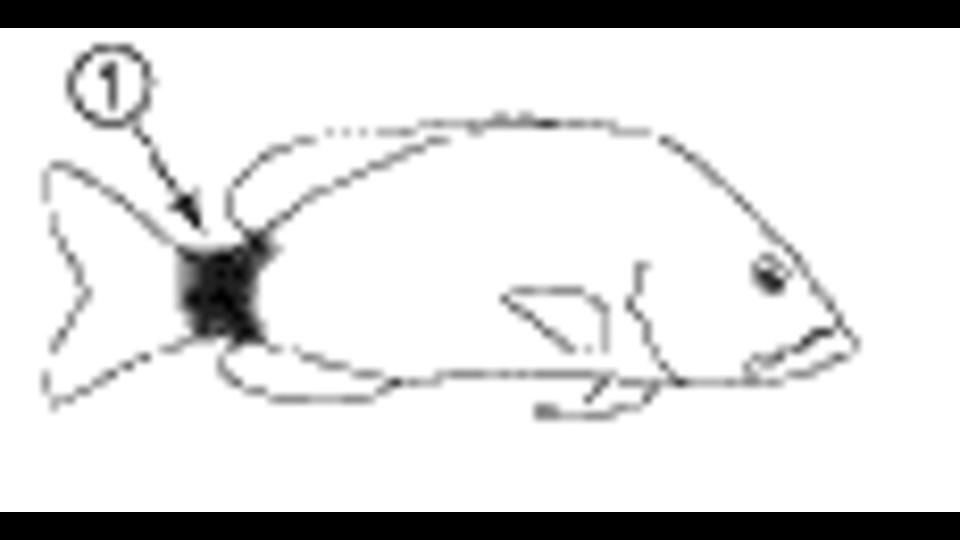 Spottail Grunt