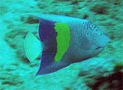 The yellowbar angelfish (Pomacanthus maculosus), should not be mistaken as an Arabian angelfish.  The location of the yellow marking  is farther back on the body and it lacks the blue wash seen on the Arabian's head.  This was taken in Pompano Beach by De