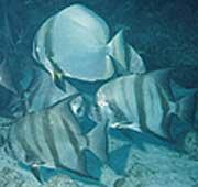 Introduced orbicular batfish (Platax orbicularis) (top) mingling with Caribbean-native Atlantic spadefish (below) on Molasses Reef, Florida Keys.  Photo by REEF member John Stuart.