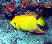 """This """"golden"""" angelfish is not an exotic species, but rather a genetic variant of the Atlantic-native queen angelfish. It was photographed by Linda Ianniello in Boca Raton, FL."""