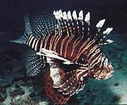 One of the more well known exotic species in the western Atlantic, the red lionfish (Pterois volitans) has been seen from New York to Bermuda to Florida.  This picture was taken in Florida by REEF member Joe Froelich.