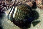 This sailfin tang (Zebrasoma desjardinii) was photographed off Commercial Pier in Lauderdale-by-the-Sea by REEF member Denise Mizell in the summer of 1999.