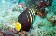 And another sailfin tang (Z. veliferum), this one was photographed in Pompano Beach .