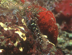 One of the new species that the REEF group found during the training in Veracruz. Photo by Lad Akins.