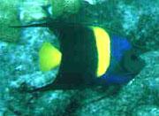 The Arabian angelfish (Pomacanthus asfur) was photographed by Tom Ferguson, taken  in Dania, FL.