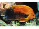 Potter's Angelfish - Angelfish<br>(<i>Centropyge potteri</i>)