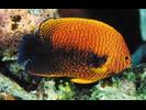 Potter's Angelfish - Angelfish<br>(<i>Centropyge potteri</i>)