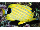 Bluestripe Butterflyfish - Butterflyfish<br>(<i>Chaetodon fremblii</i>)