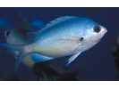 Oval Chromis - Damselfish<br>(<i>Chromis ovalis</i>)