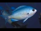 Oval Chromis - Damselfish<br>(<i>Chromis ovalis</i>)